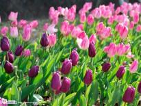 冬咲きチューリップ1024x768