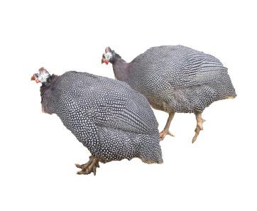 ホロホロチョウ 家禽型