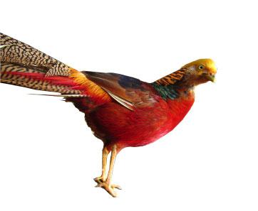 キンケイ 家禽型